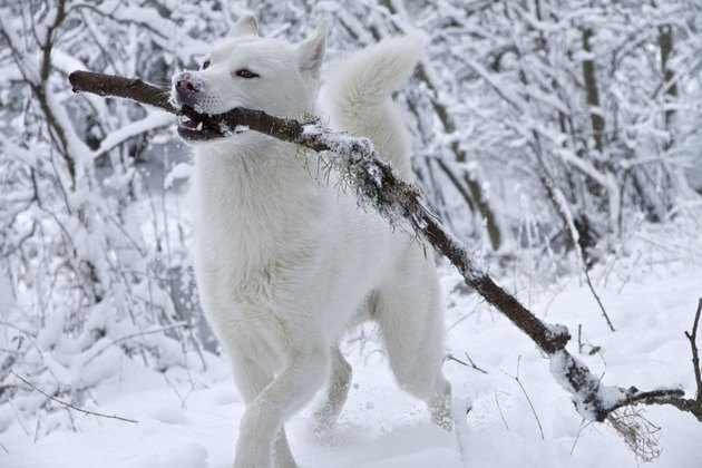 Dog in snow with big stick