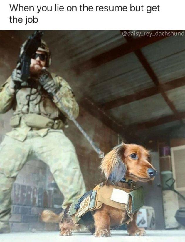 Dachshund in military vest.