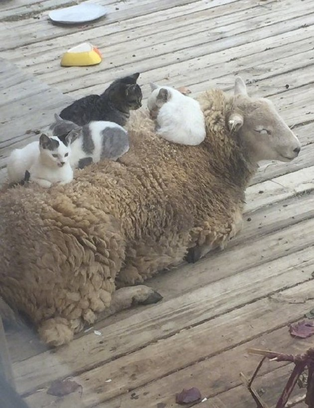 Four kittens sitting on the back of a sheep.