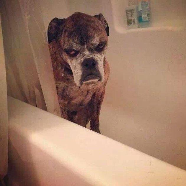 Dog in bath glares at camera.