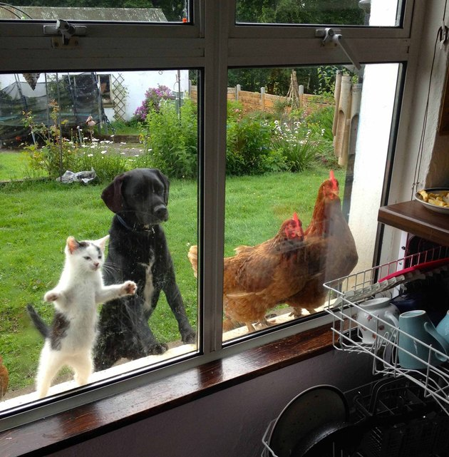 Cat, dog, and two chickens look through kitchen window.