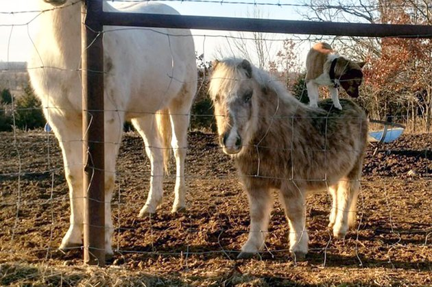 This Miniature Horse Was Caught Giving Moonlight Pony Rides To The Dog Next Door