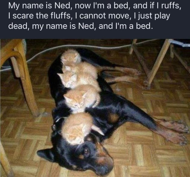 Dog with five kittens sleeping on it