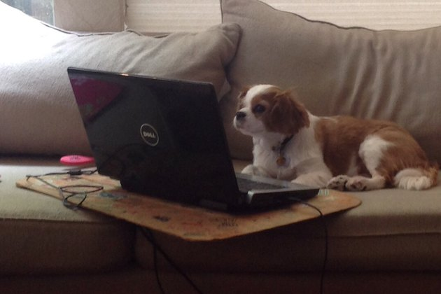 Cavalier King Charles Spaniel on couch looking at laptop.
