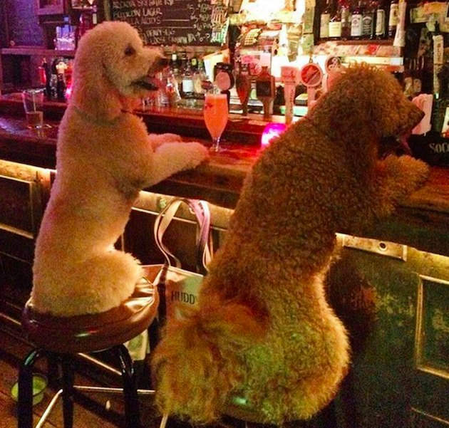 Poodles sitting at bar.