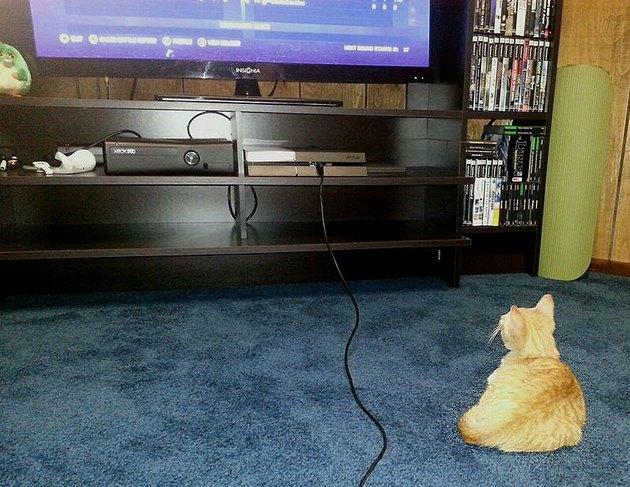Cat watching TV.