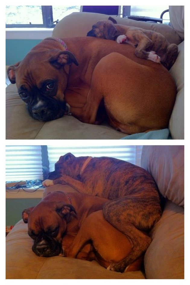 two boxer dogs spooning on the couch