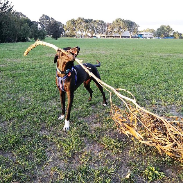 dog drags tree branch