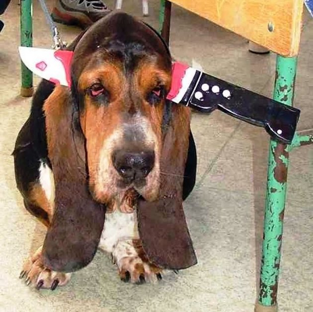 Bloodhound with knife wound headband