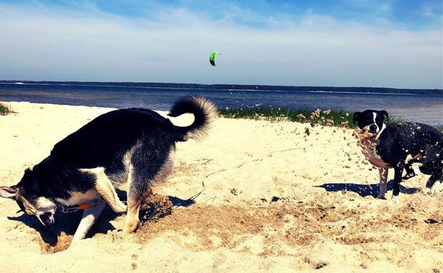 Digging dog kicks sand onto other dog.