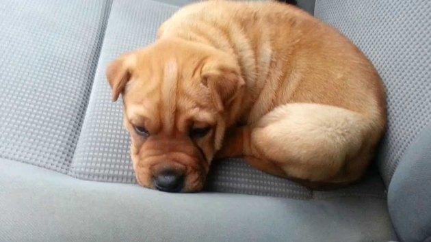 little sharpbull terrier puppy.