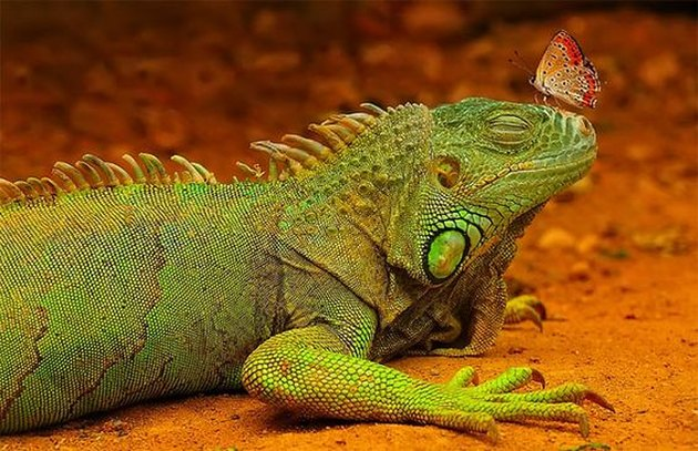 Butterfly perched on the nose of an iguana with its eyes closed.