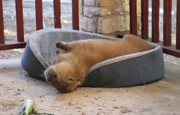 Capybara on dog bed.