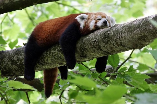 Red panda sleeping on branch.