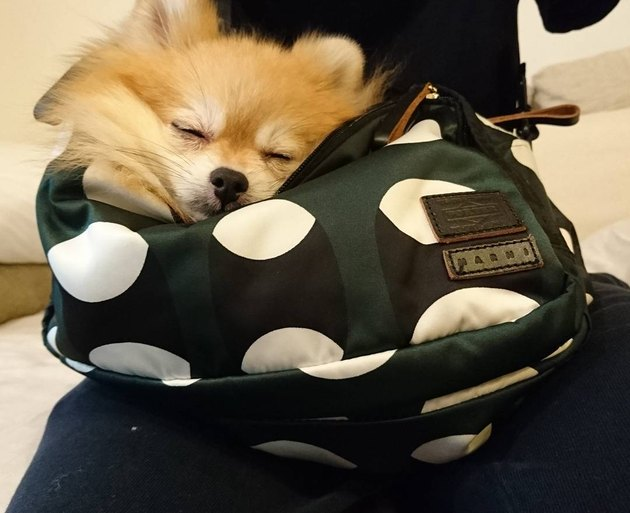 Dog in purse.