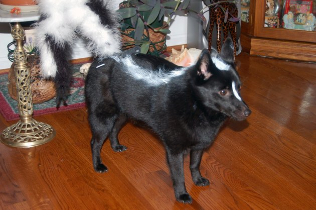 Dog dressed as a skunk.