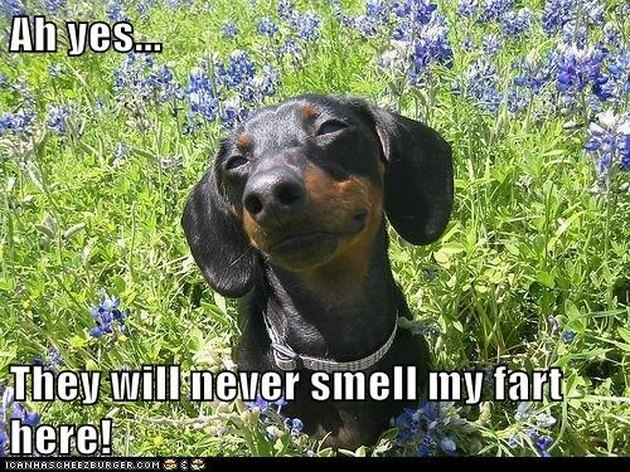 Dachshund in a field of flowers.