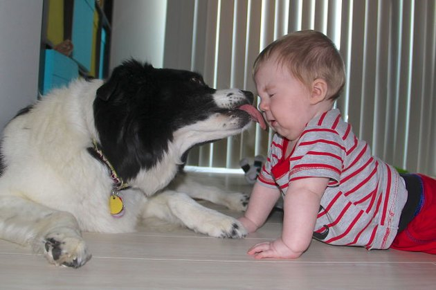 Dog licking baby.
