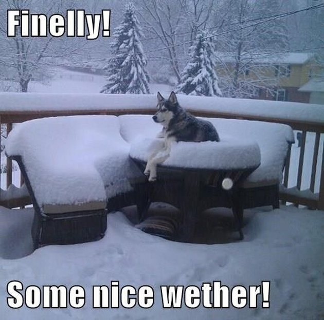 Husky sitting outdoors on snow-covered patio furniture. Caption: Finelly! Some nice wether!