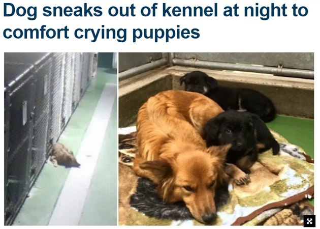 "Headline: ""Dog sneaks out of kennel at night to comfort crying puppies."""