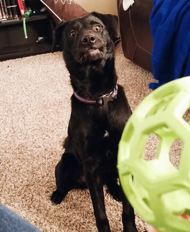 black dog ready for you to throw the green ball