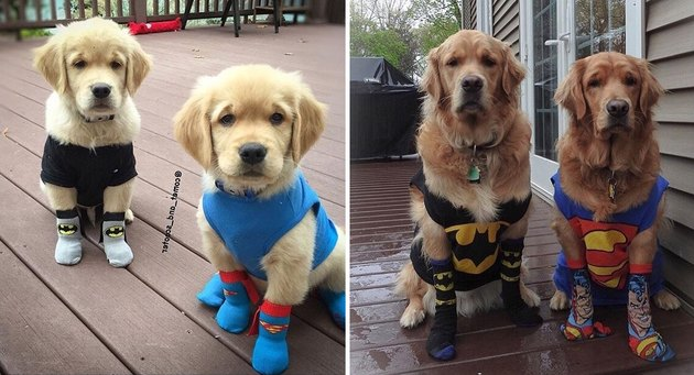 Side by side photos of dogs dressed like superheroes as puppies and as adults.