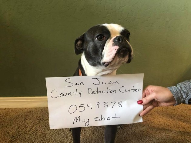 This Dog Was Arrested for Destroying a Christmas Decoration
