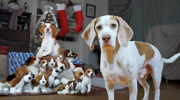 Famous beagle meets his adopted beagle brother in adorable Christmas video