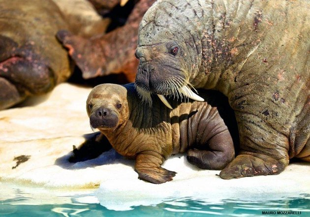 Adult and baby walrus.