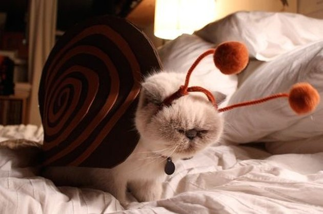Cat dressed as snail.