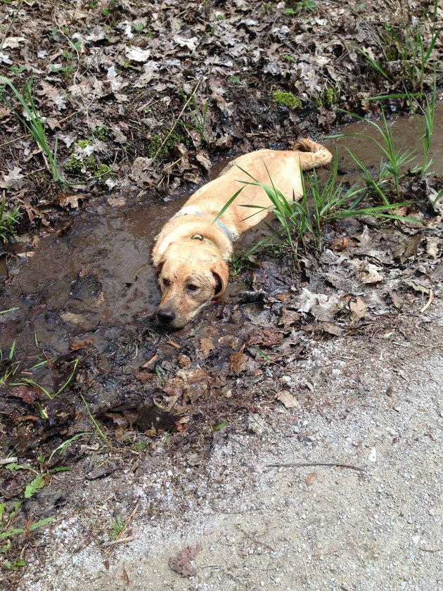 Dog lying in mud.