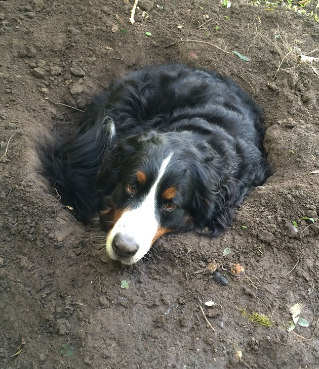 Dog curled up in hole