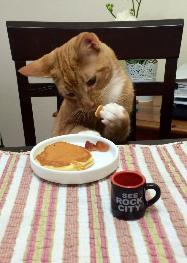 Cat eating pancakes