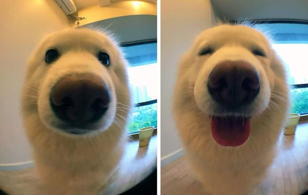 Samoyed looking happy