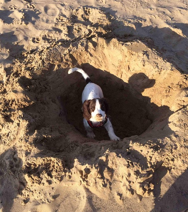 Small dog in sandy hole.