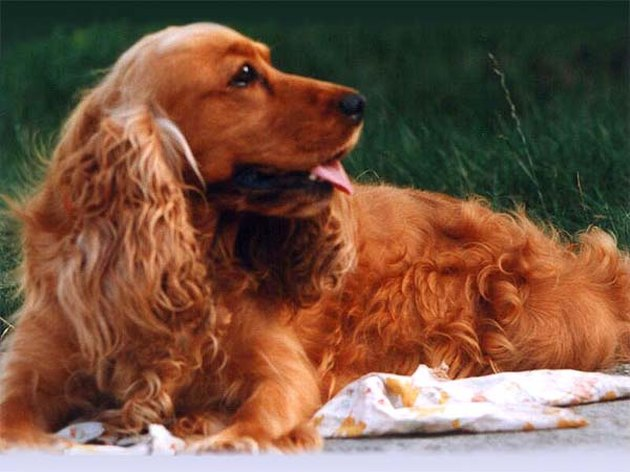 A Cocker Spaniel lying on a blanket in a field