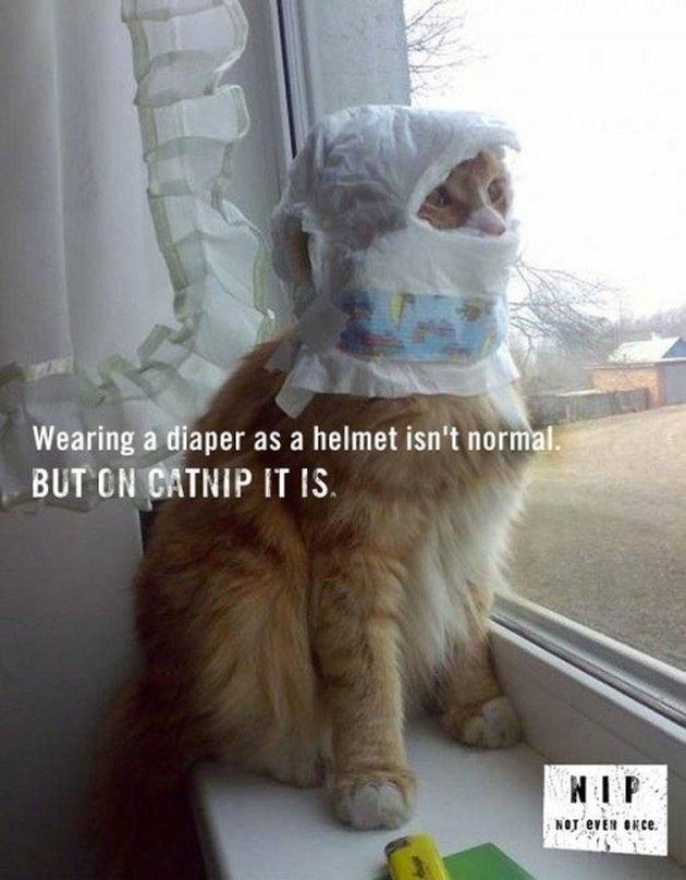 Catnip; helmet