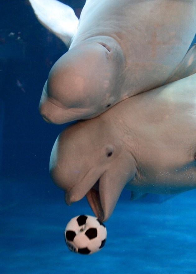 Beluga whales playing with soccer ball.
