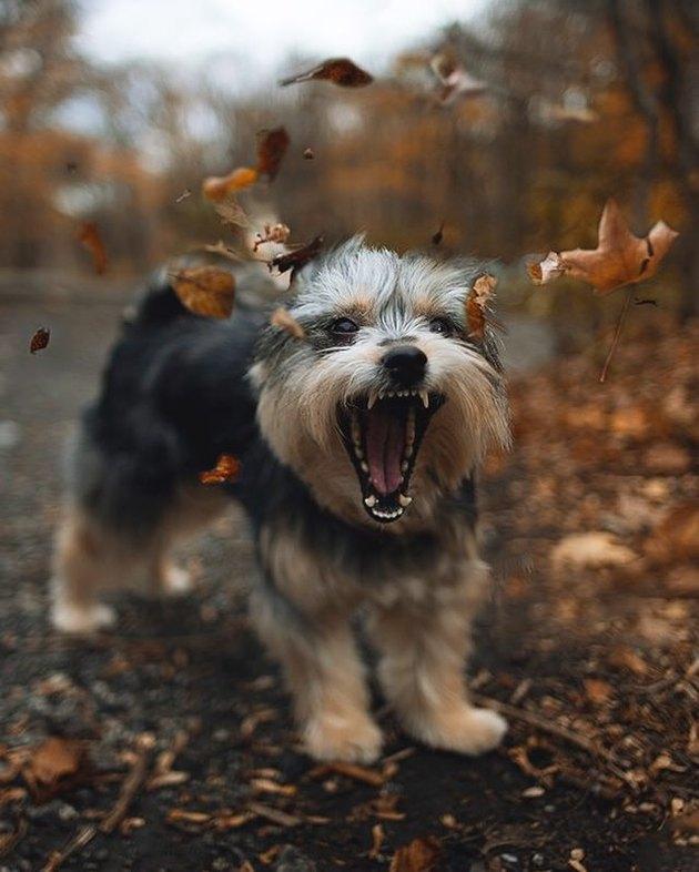 Dog barking at leaves