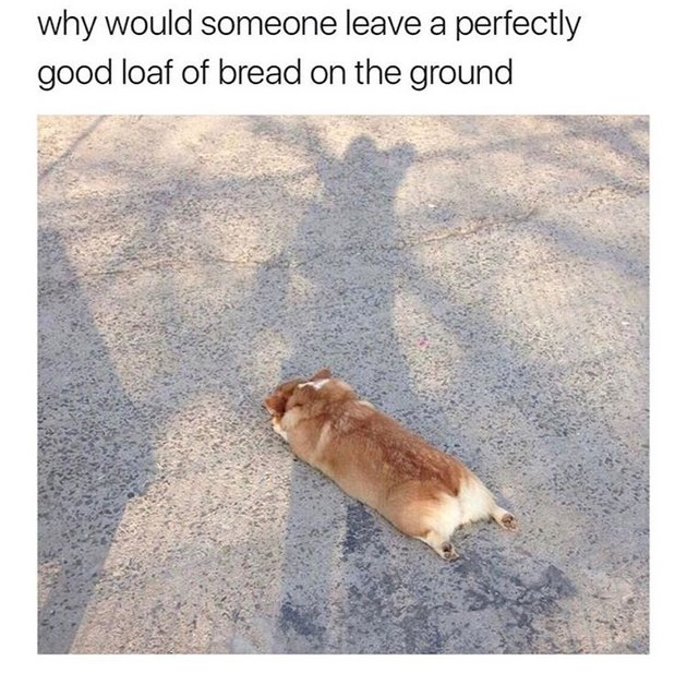 Corgi stretched out on the ground. Caption: why would someone leave a perfectly good loaf of bread on the ground