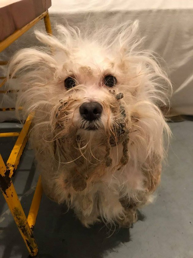 This Matted Dog Got the Most Gorgeous Makeover