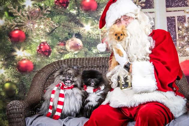 Santa holding fluffy dog up to his beard with two more dogs seated next to him.