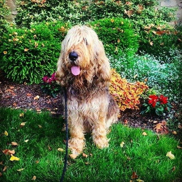 Otterhound in grass