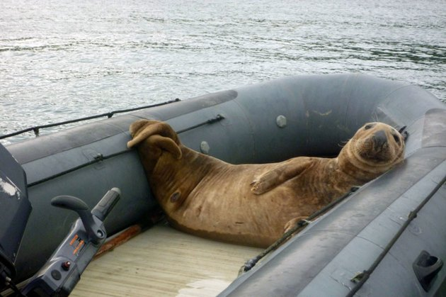 Elephant seal lounging in a boat.