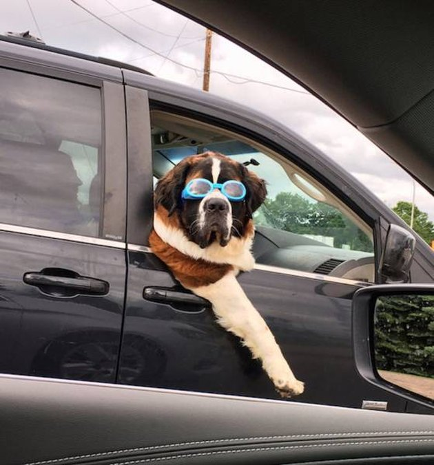 Dog with sunglasses leaning out passenger's side window.