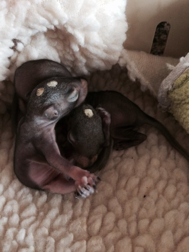 Baby squirrel in blanket