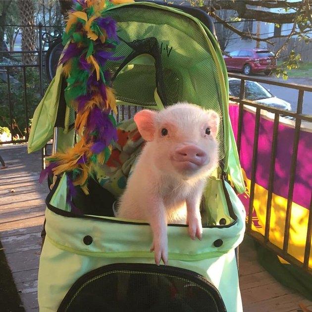 Pig in stroller