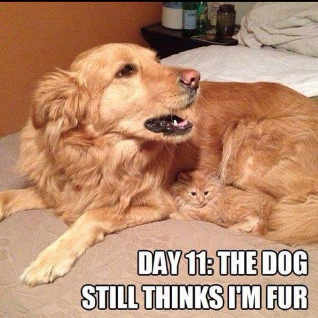 "Kitten curled up next to dog with same colored fur. Caption: ""Day 11: The dog still thinks I'm fur"""