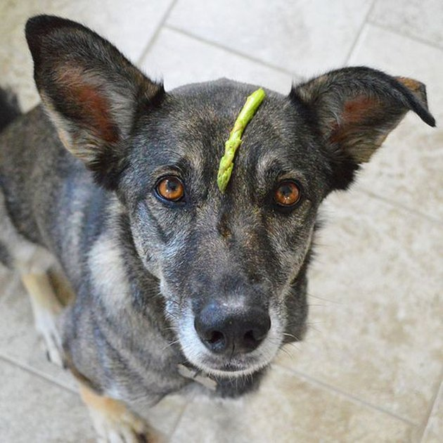 Dog in kitchen with asparagus on its head