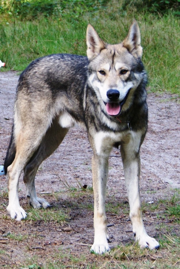 Male Saarlos wolfdog outdoors